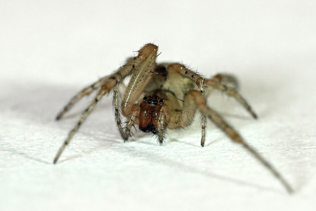 Araña tegenaria campestre